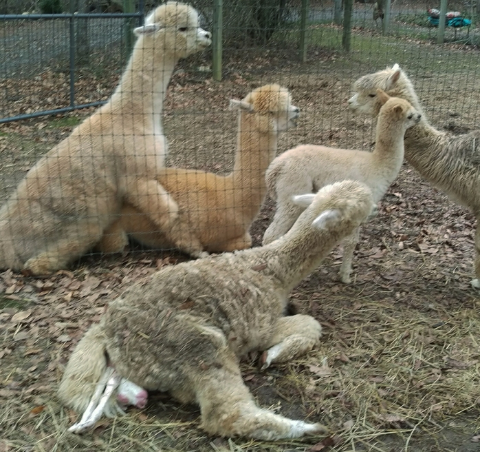 Birthing a cria (baby alpaca) and breeding a dam to herdsire