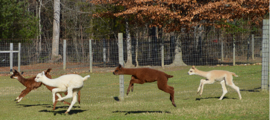 Cria running and playing